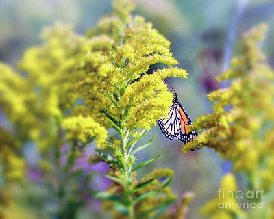 Monarch Photograph - Monarch Butterfly In Goldenrod by Kerri Farley New River Nature