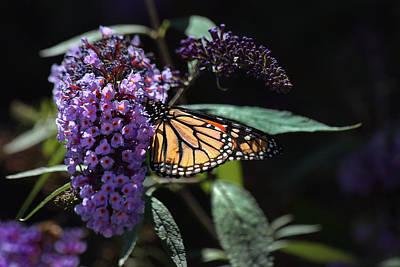 Monarch Butterfly In Low Key Art Print