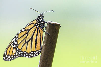 Photograph - Monarch Butterfly In Rain by Ben Graham