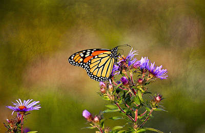 Monarch Butterfly In The Afternoon Sun Art Print by James Steele