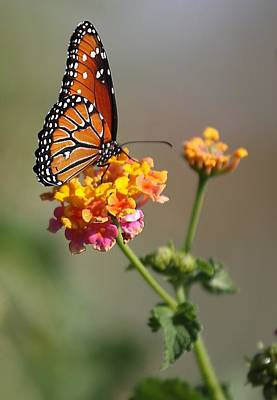 Photograph - Monarch Butterfly by Joel Gilgoff