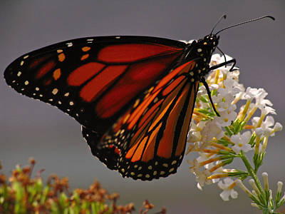 Photograph - Monarch Butterfly by Juergen Roth