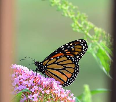 Photograph - Monarch Butterfly by Kathy Eickenberg