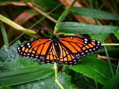 Photograph - Monarch Butterfly by Kyle West