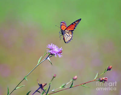 Photograph - Monarch Butterfly Landing by Kerri Farley