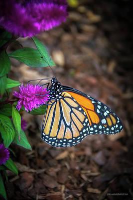 Photograph - Monarch Butterfly by LeeAnn McLaneGoetz McLaneGoetzStudioLLCcom