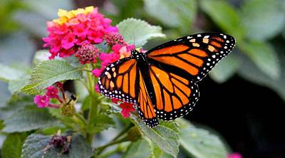 Photograph - Monarch Butterfly by Liz Vernand