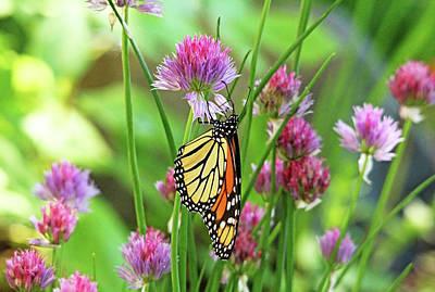 Photograph - Monarch Butterfly Loving The Purple Blooms by Debbie Oppermann