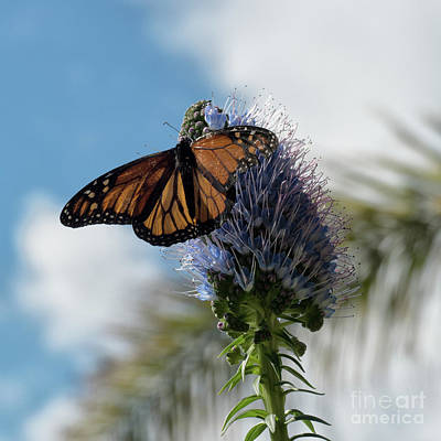 Photograph - Monarch Butterfly by Lynn Bolt