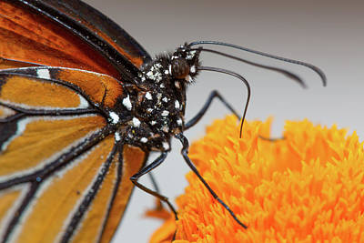Photograph - Monarch Butterfly Macro by SR Green