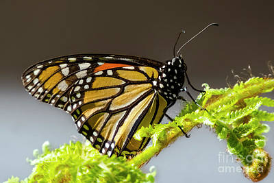 Photograph - Monarch Butterfly by Mariola Bitner