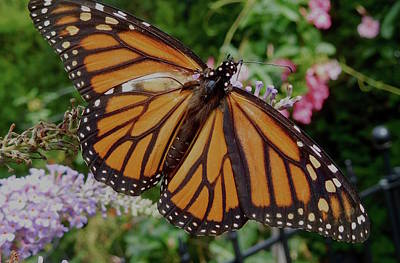 Photograph - Monarch Butterfly by Melinda Saminski