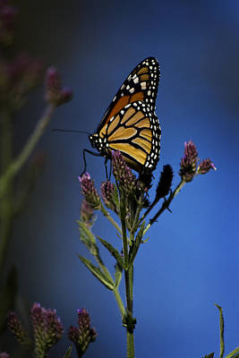 Photograph - Monarch Butterfly by Morgan Wright