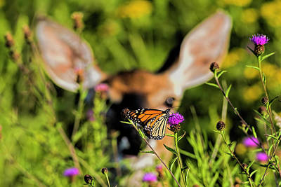 Photograph - Monarch Butterfly by Myer Bornstein