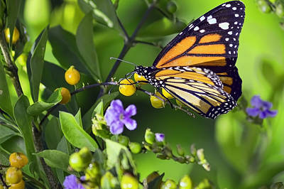 Photograph - Monarch Butterfly by Nadia Sanowar