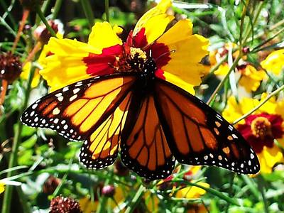 Photograph - Monarch Butterfly by Nancy Pauling