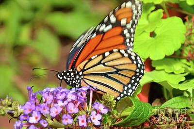 Photograph - Monarch Butterfly Nature Art by Robyn King