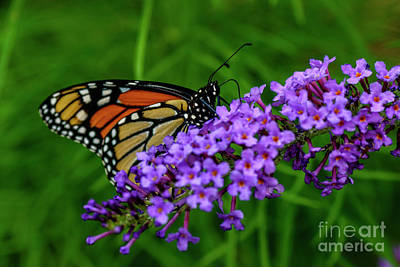 Buddleia Photograph - Monarch Butterfly Nectaring  by Thomas R Fletcher