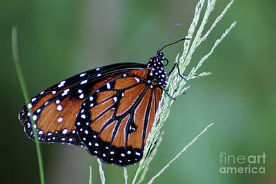 Photograph - Monarch Butterfly by Olga Hamilton