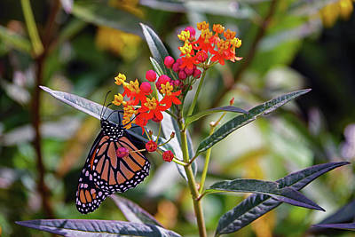 Photograph - Monarch Butterfly On A Flower by Richard Rosenshein