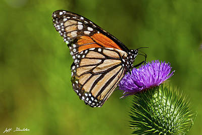 Photograph - Monarch Butterfly On A Thistle by Jeff Goulden