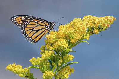 Stratford Photograph - Monarch Butterfly On A Yellow Flower by Morris Finkelstein