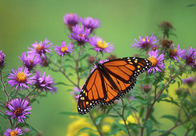 Photograph - Monarch Butterfly On Asters by John Burk