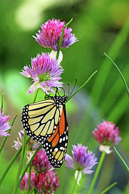 Photograph - Monarch Butterfly On Chive Blooms by Debbie Oppermann
