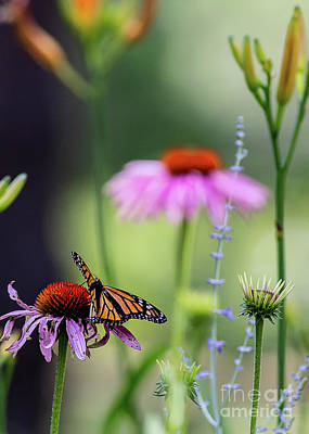 Photograph - Monarch Butterfly On Cone Flower by Brad Marzolf Photography