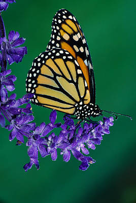 Flower Design Photograph - Monarch Butterfly On Flower Blossom by Panoramic Images