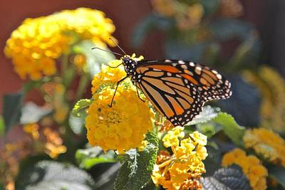 Photograph - Monarch Butterfly On Lantana by Liz Vernand
