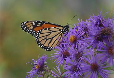 Photograph - Monarch Butterfly On Late Purple Asters by Joe Duket