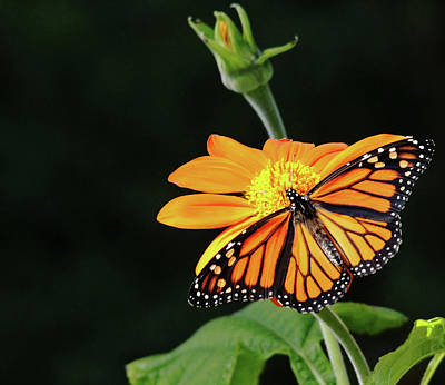 Photograph - Monarch Butterfly On Mexican Sunflower by Debbie Oppermann