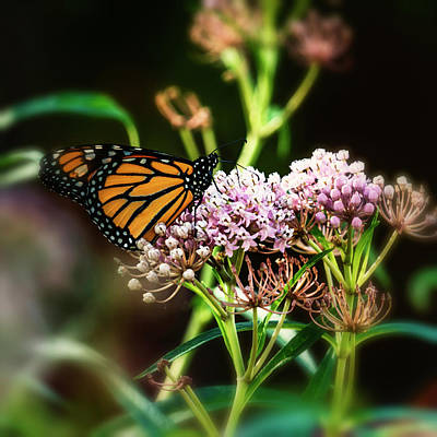 Photograph - Monarch Butterfly On Milkweed-7r2_dsc2092_08242017 by Greg Kluempers