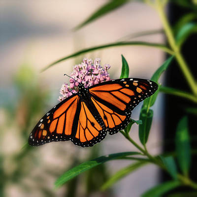 Photograph - Monarch Butterfly On Milkweed-7r2_dsc2140_08242017  by Greg Kluempers