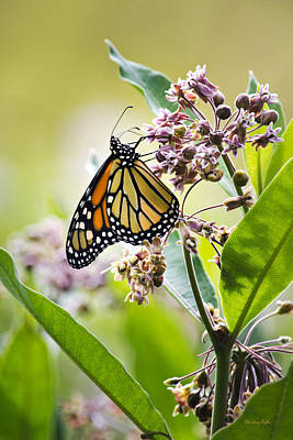 Photograph - Monarch Butterfly On Milkweed by Christina Rollo