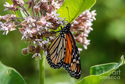 Photograph - Monarch Butterfly On Milkweed by Grace Grogan