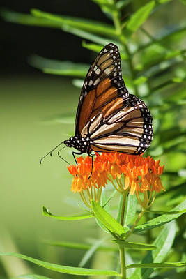 Photograph - Monarch Butterfly On Milkweed by Jill Lang