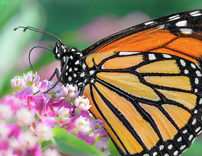 Monarch Butterfly On Milkweed Art Print