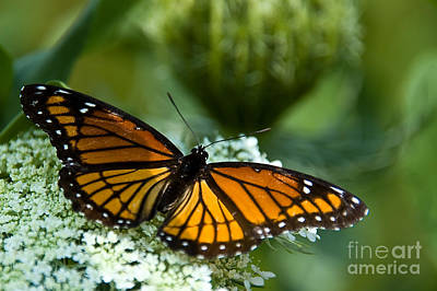 Monarch Butterfly On Queen Anne's Lace Flowers Art Print