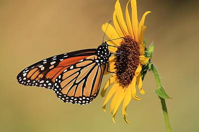 Art Print featuring the photograph Monarch Butterfly On Sun Flower by Sheila Brown