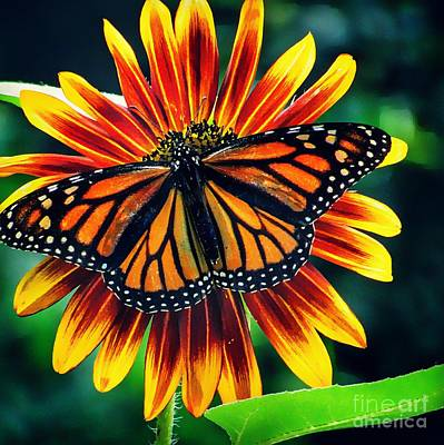 Photograph - Monarch Butterfly On Sunflower  by Paul Wilford