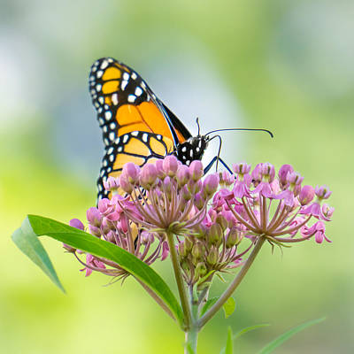 Monarch Butterfly On Swamp Milkweed Art Print