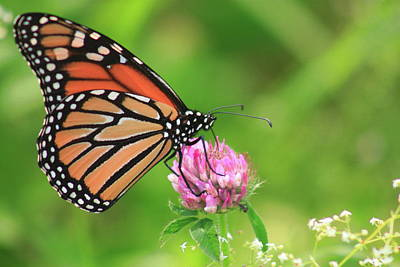 Photograph - Monarch Butterfly On Thistle by John Burk