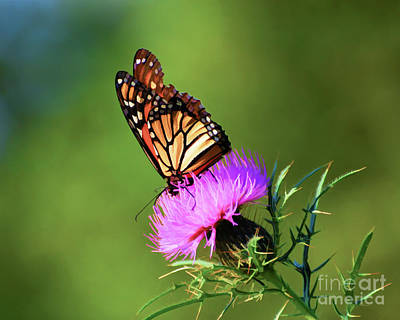 Photograph - Monarch Butterfly On Thistle by Kerri Farley