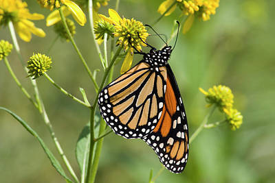 Photograph - Monarch Butterfly On Wildflowers by Jill Lang