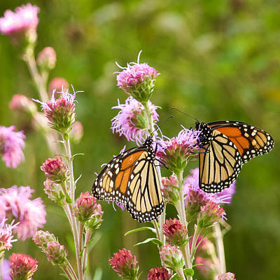 Photograph - Monarch Butterfly Pair Square Format by Heidi Hermes