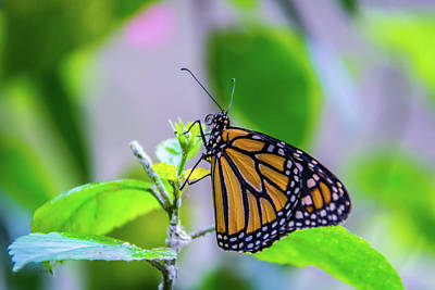 Photograph - Monarch Butterfly by Pamela Williams