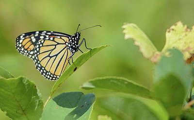 Photograph - Monarch Butterfly by Peter Ponzio