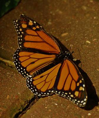 Photograph - Monarch Butterfly by Ramona Whiteaker